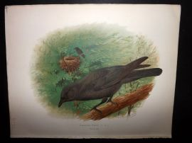 Butler, Frohawk & Gronvold 1908 Antique Bird Print. Carrion Crow 100